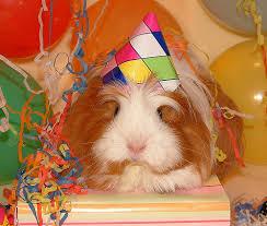 Image result for guinea pig celebration